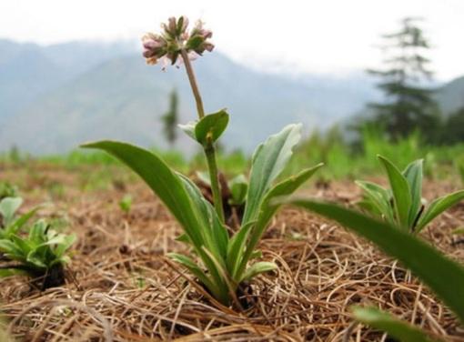 spikenard plant.jpg