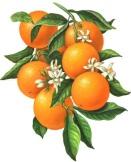 wild orange8.jpg